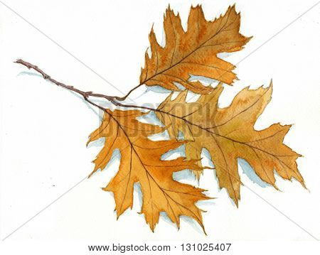 Autumn oak leaves - hand drawn watercolor painting