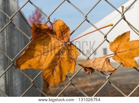 yellow maple leaves caught on a wire fence