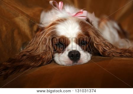 Beautiful Pure Breed cavalier King Charles Cavalier Spaniel dogs