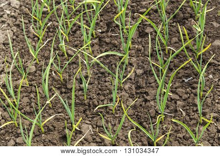 Green onion plantation in the vegetable garden on soil
