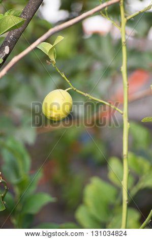 Lemon fruit alone in the Tree