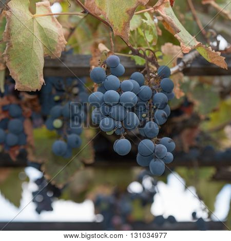 Bunches Of Grapes At A Vineyard #6