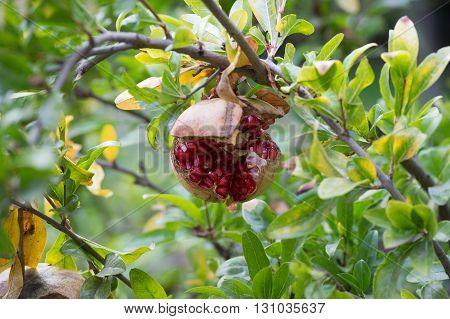Ripe Pomegranate Fruit On The Tree #4