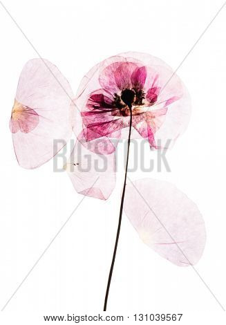 Dry, pressed poppy flowers