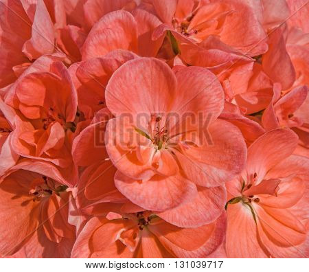 Background of pink cranesbill flowers (pelargonium hortorum also called zonal geranium garden geranium malva or malvon).