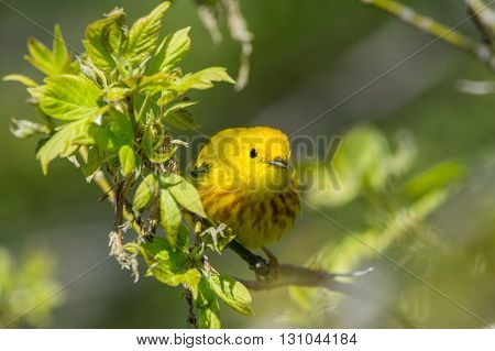 Yellow Warbler perched on a branch during spring migration in Wisconsin.