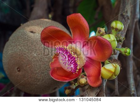 beautiful cannon ball tree flower with ball