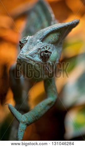 Closeup macro portrait of a green chameleon.