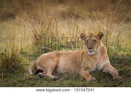 As the sun rose we found this gorgous lioness on a mound backlit gazing upon a herd of Zebras contemplating a bite to eat.