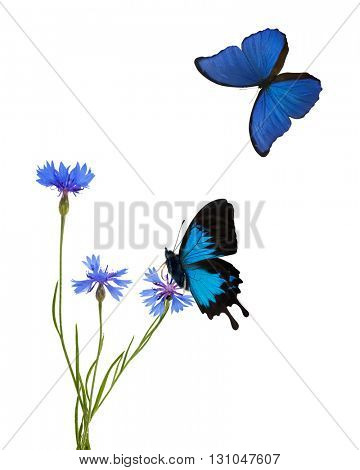 blue chicory flowers flowers and butterflies isolated on white background
