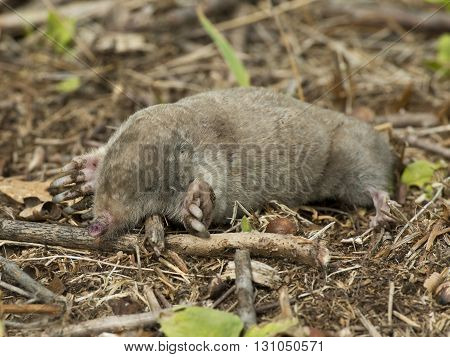 A Star Nosed Mole out of his hole