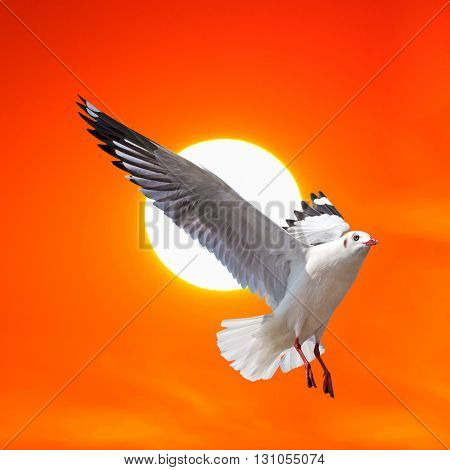 A Seagull flying at beautiful sunset background