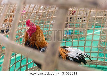 Chicken In Bamboo Coop, Thailand