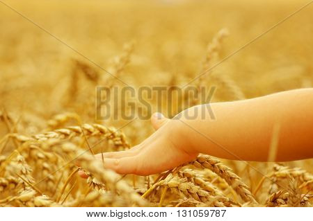 Hands of little girl in the wheat field