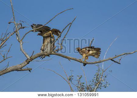 This is my branch. One red-tailed hawk scares off another on a branch.