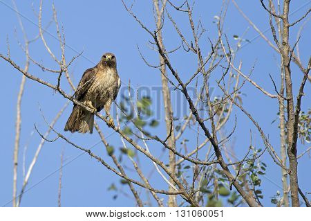 Hawk perched on branch. A majestic red-tailed hawk is perched on a tree on a clear day.