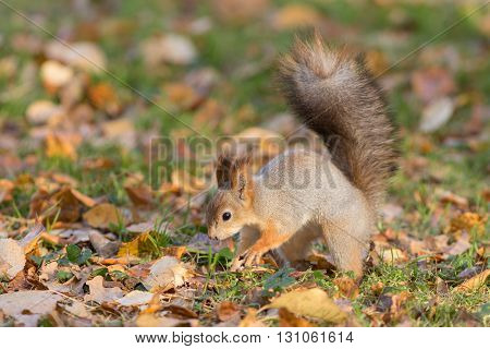 squirrel on the grass with fallen leaves
