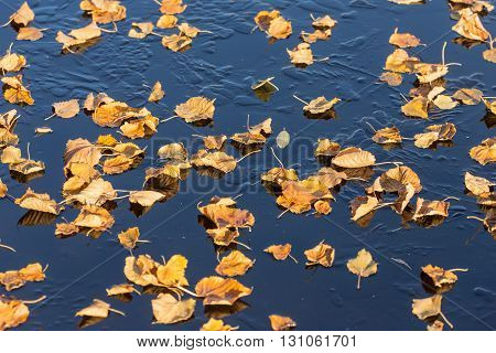 yellow autumn leaves on the ice after the first frost