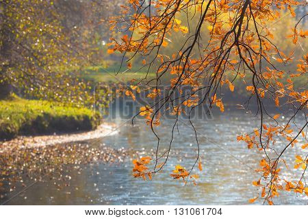 Autumn oak branch with yellow leaves over a river