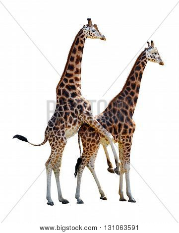 Mating giraffes isolated on a white background