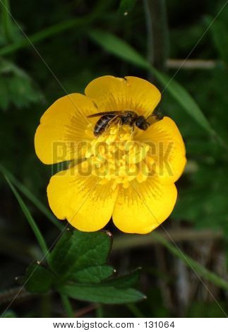 Hornet In Buttercup