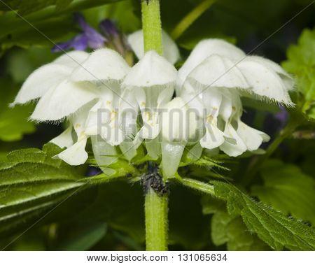White dead-nettle Lamium album flowers close-up selective focus shallow DOF
