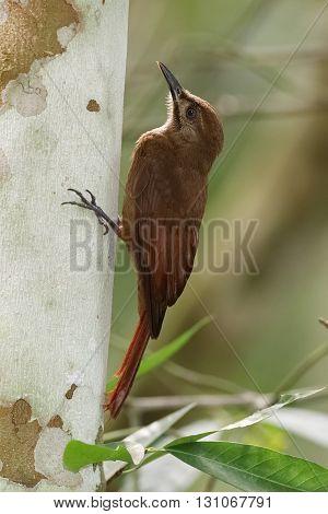 Plain-brown Woodcreeper Climbing Up A Tree - Panama