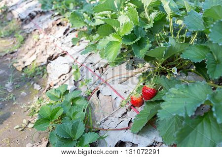 Red Strawberry Fruit In Field Plantation Of Agriculture