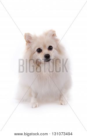 White Pomeranian Dog Cute Pets Isolated On White Background