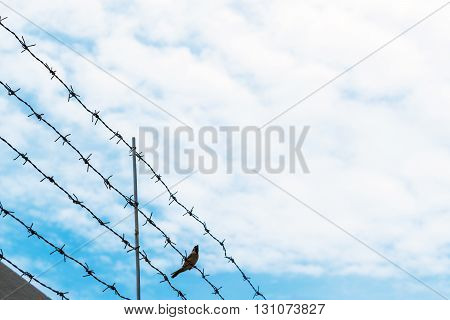 Barbed wire on blue sky with bird on wire, concept of freedom