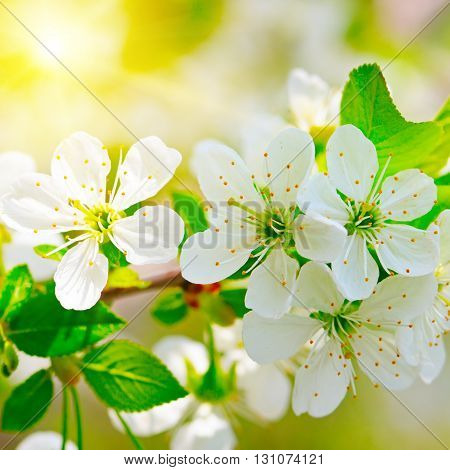 blooming branch of cherry in the sun