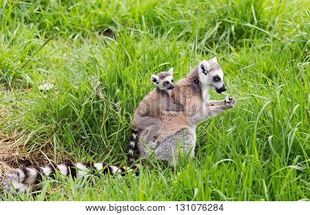 Ring tailed lemur carrying young on her back
