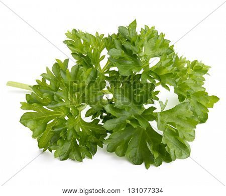 fresh parsley herb  leaves isolated on white background cutout