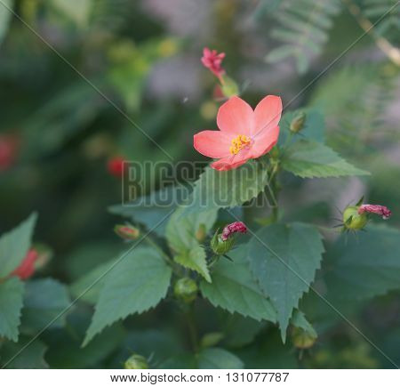 Small Of Hibiscus Flower