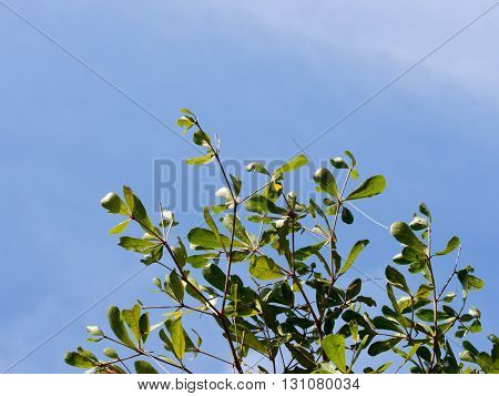 Green leaves on tree  against the sky