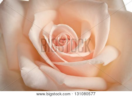 Beautiful Bud Of Rose Close-up As Background