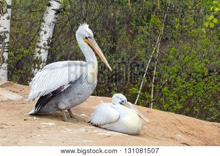 Two Pelican (white birds) with long beaks sit near the water and woods (Latin: Pelecanus crispus; class birds; squad pelecanoididae; family pelikanova)