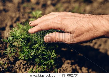 Farmer controlling growth of carrot plants in vegetable garden homegrown organic food production selective focus