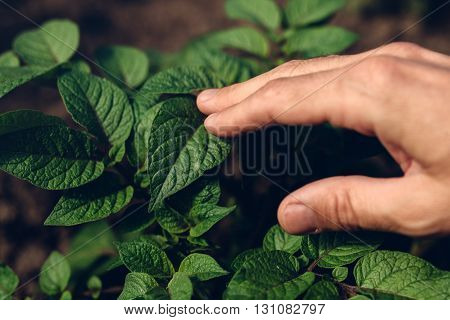 Farmer controlling growth of potato plants in vegetable garden homegrown organic food production selective focus