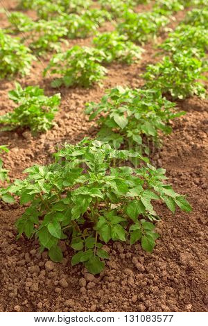 Potato field plants growing in homegrown organic vegetable garden cultivated agricultural production