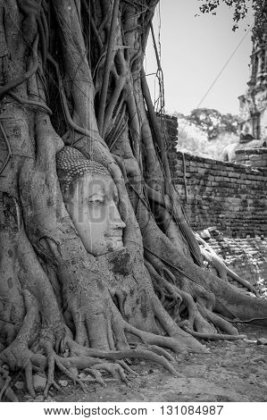 Ancient Buddha Head inside the tree at Mahathat Temple Ayutthaya historical park thailand. Black and white