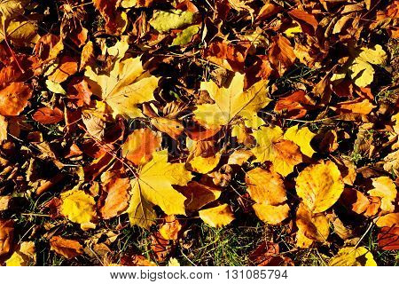 Autumn Park Ground With Carpet From Vivid Autumn Leaves, Colorful Maple Leaf On Beeches Leaves.