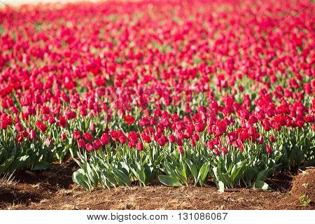 Tulips Table Cape Tasmania