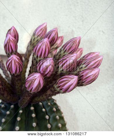 Barrel Cactus Flowers blooming in Riverside California