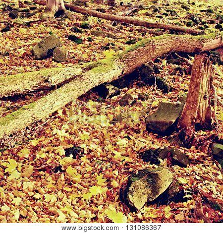 Rotten Trunk In Golden Autumn Forest, Tourist Stony Footpath. Broken Tree.