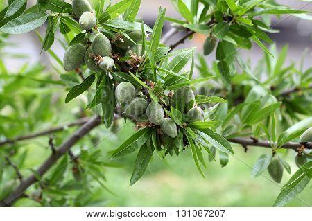 Green fruit on an almond tree Prunus dulcis.
