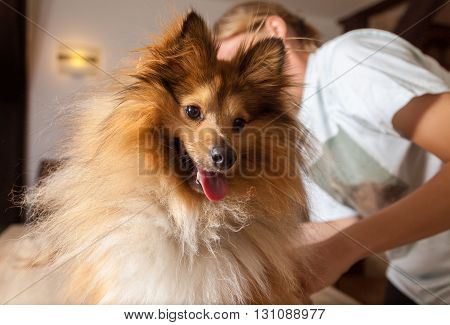 a happy shetland sheepdog shows his tongue