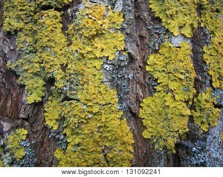 yellow lichen on willow bark closeup, old tree