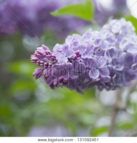 The Flowers Are A Violet Lilac On A Background Of Green Foliage..