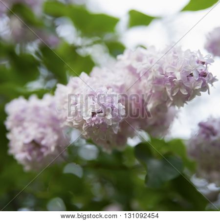 The Flowers Are Pale Pink Lilac On A Background Of Green Foliage..